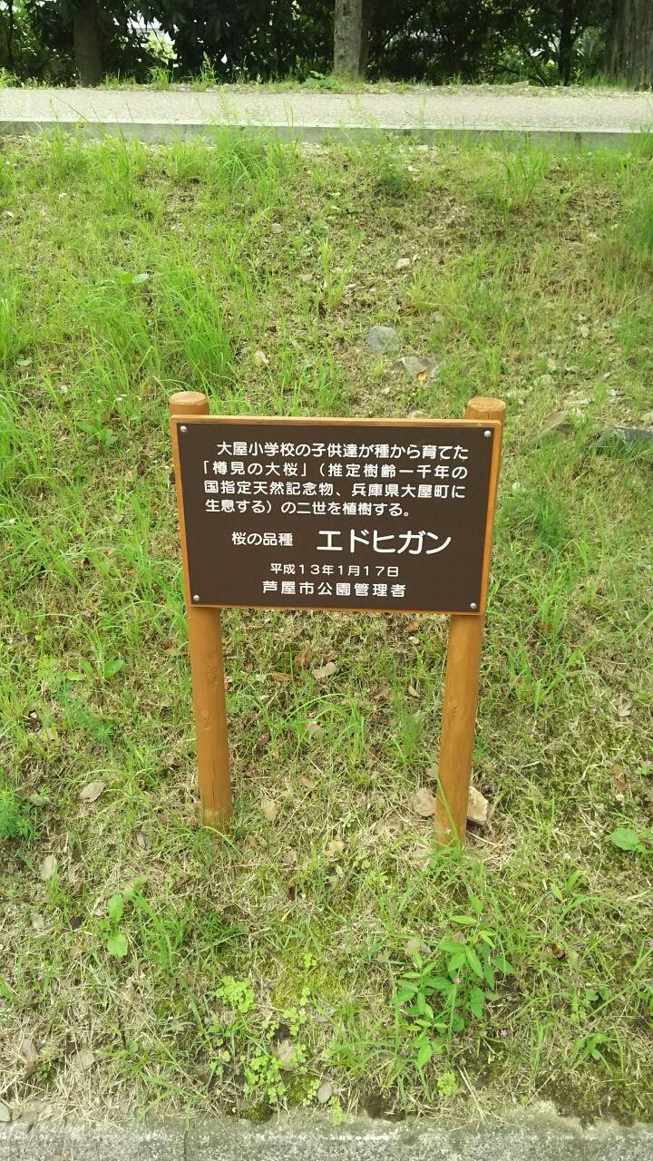 芦屋市にある大屋の樽見の仙櫻